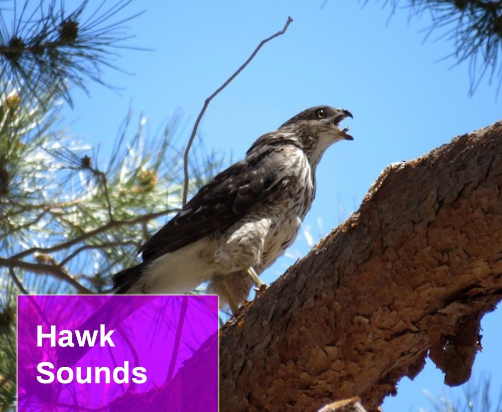 Hawk Sounds