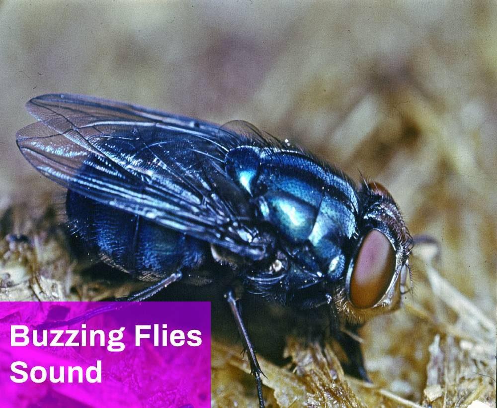 Buzzing Flies Sound