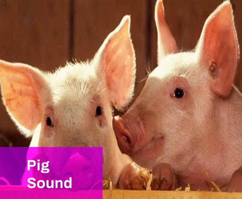 Pig Sound)