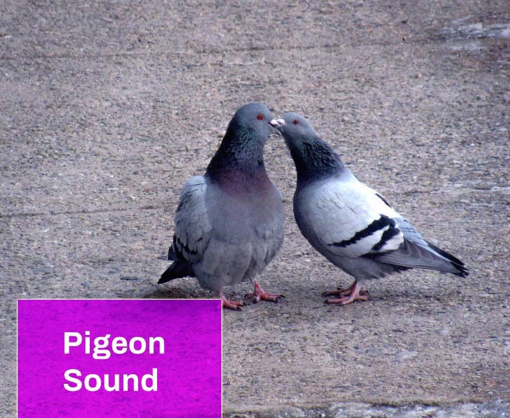 Pigeon sound