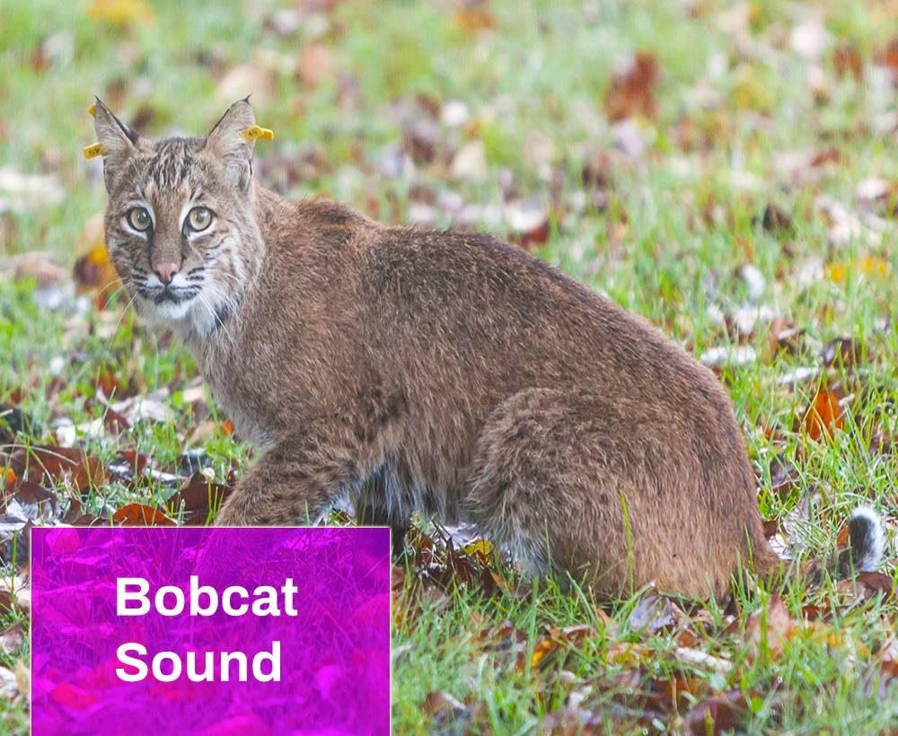 Bobcat sound