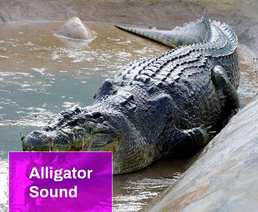 Alligator Sound