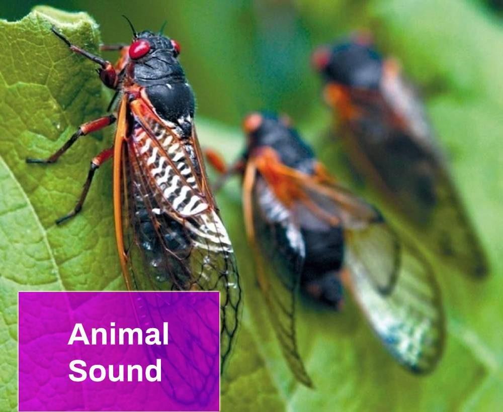 Cicada Sound