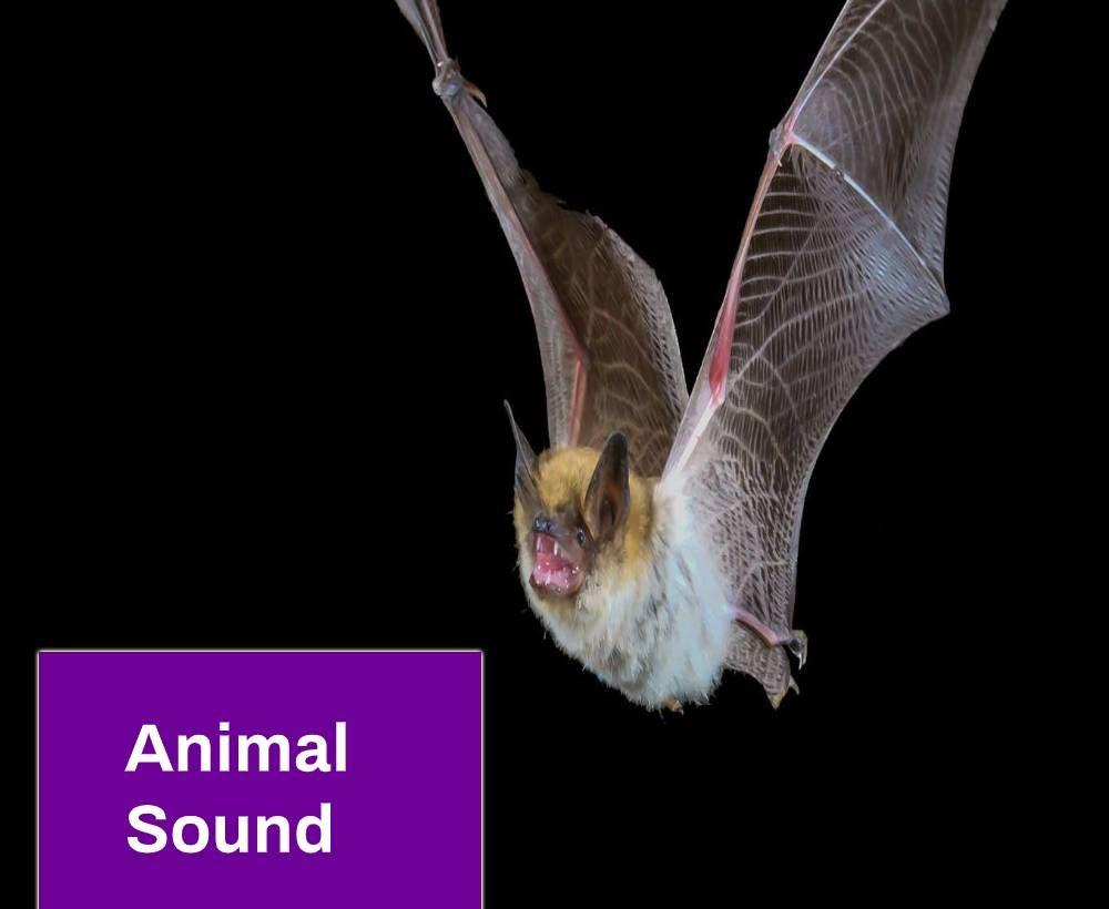 Bat Sound