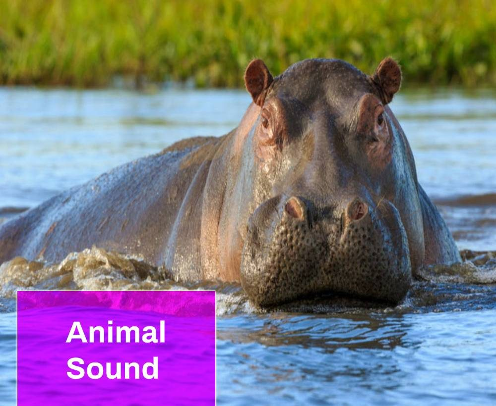 Hippopotamus Sound