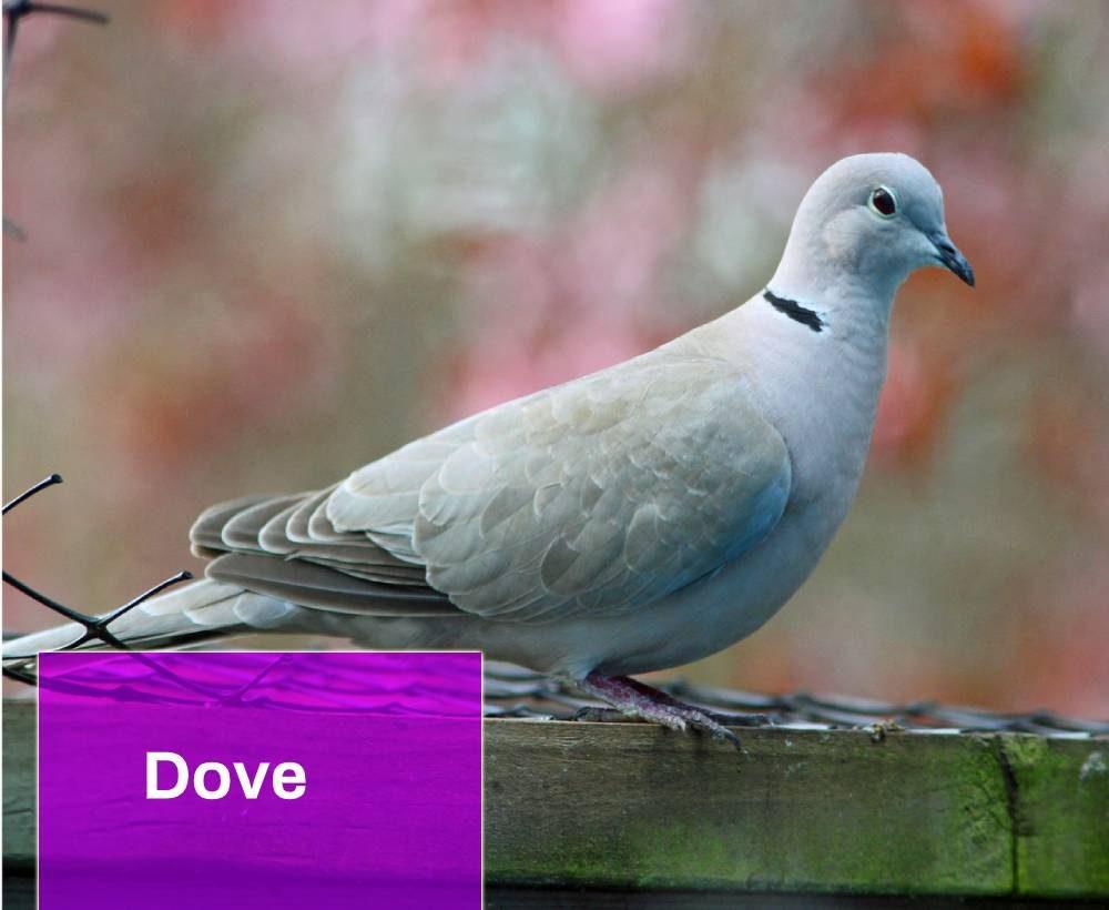 Dove Sound