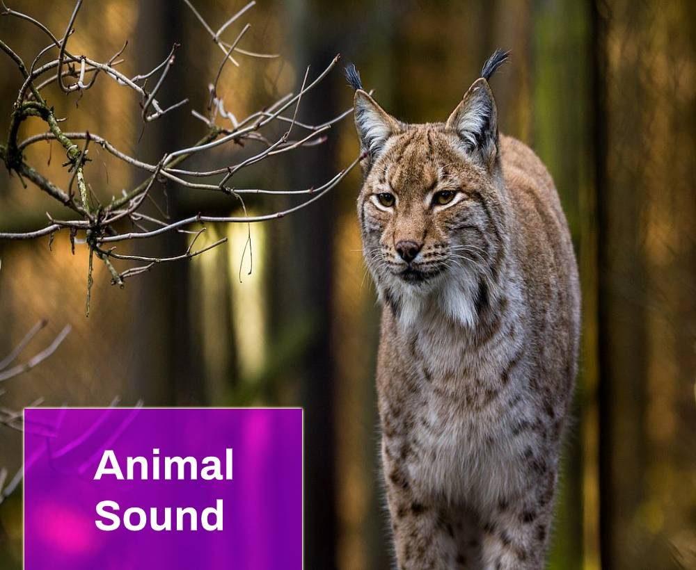 Lynx Sound