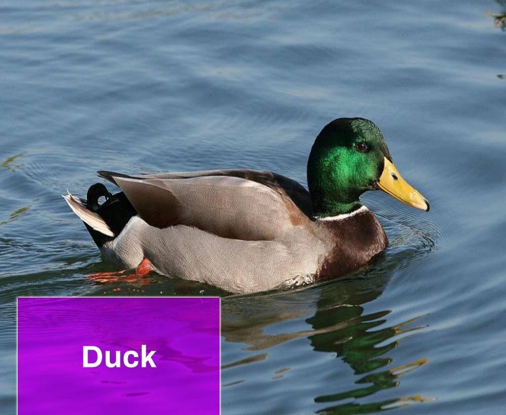 Duck Sound