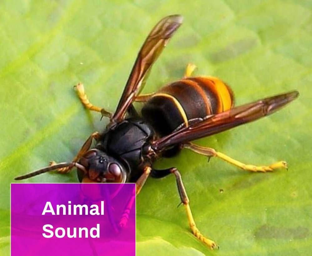 Wasp Sound