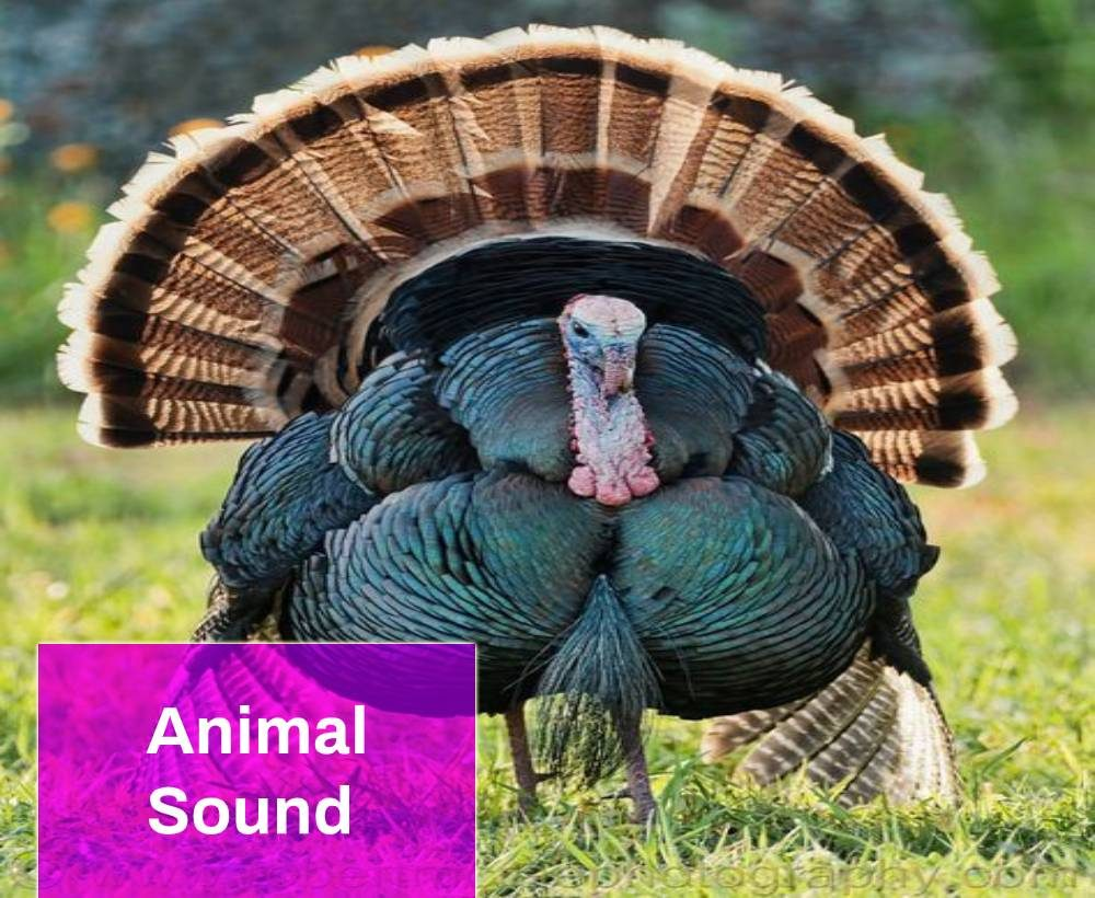 Turkey Sound