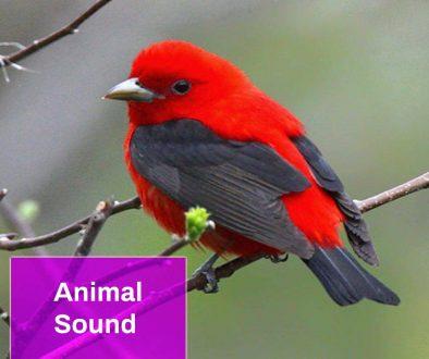 Bird Sound