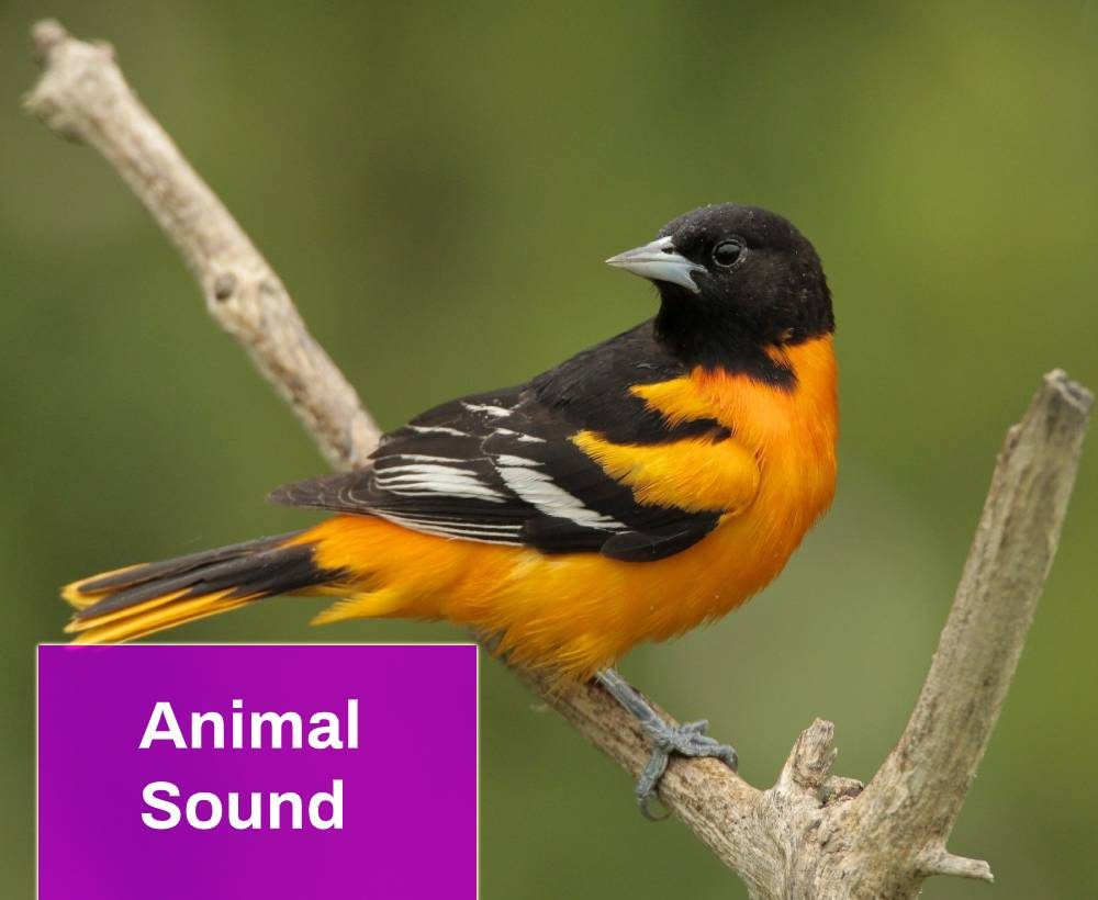 Baltimore Oriole Sound