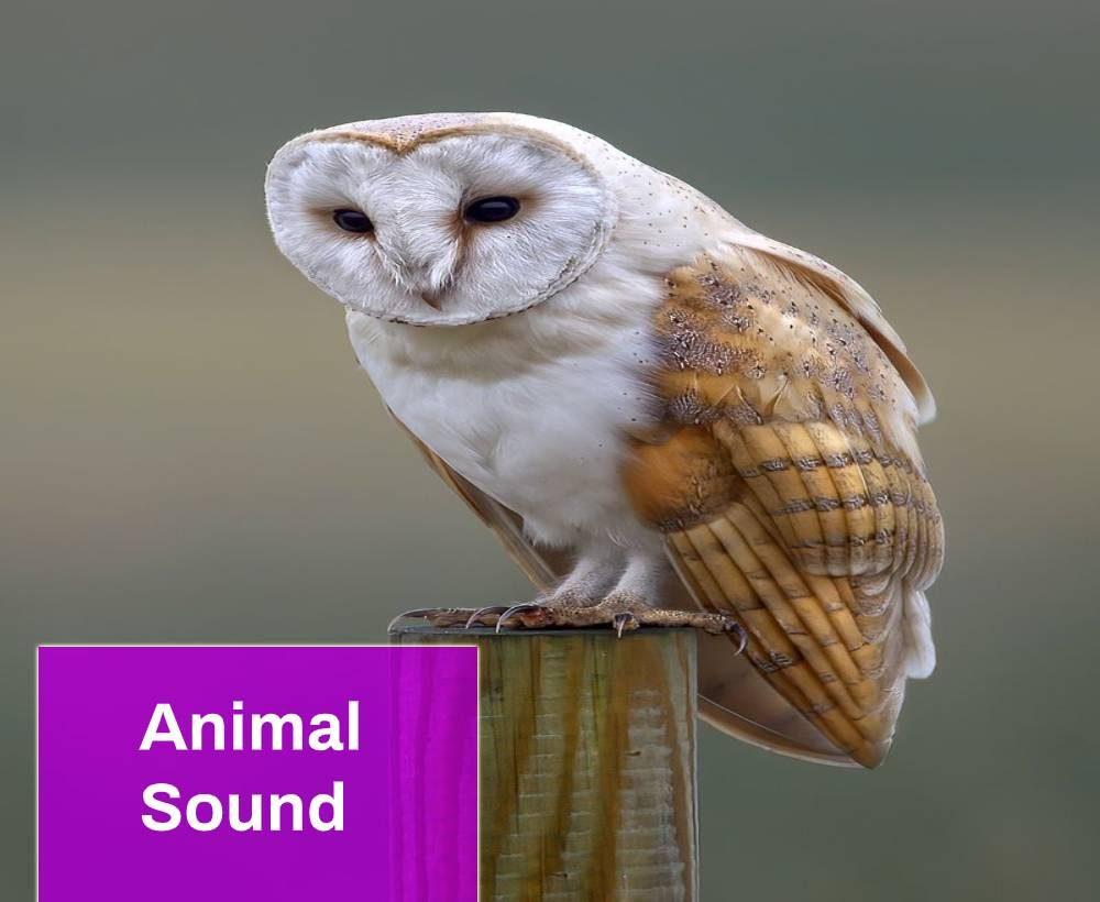 barn owl sound
