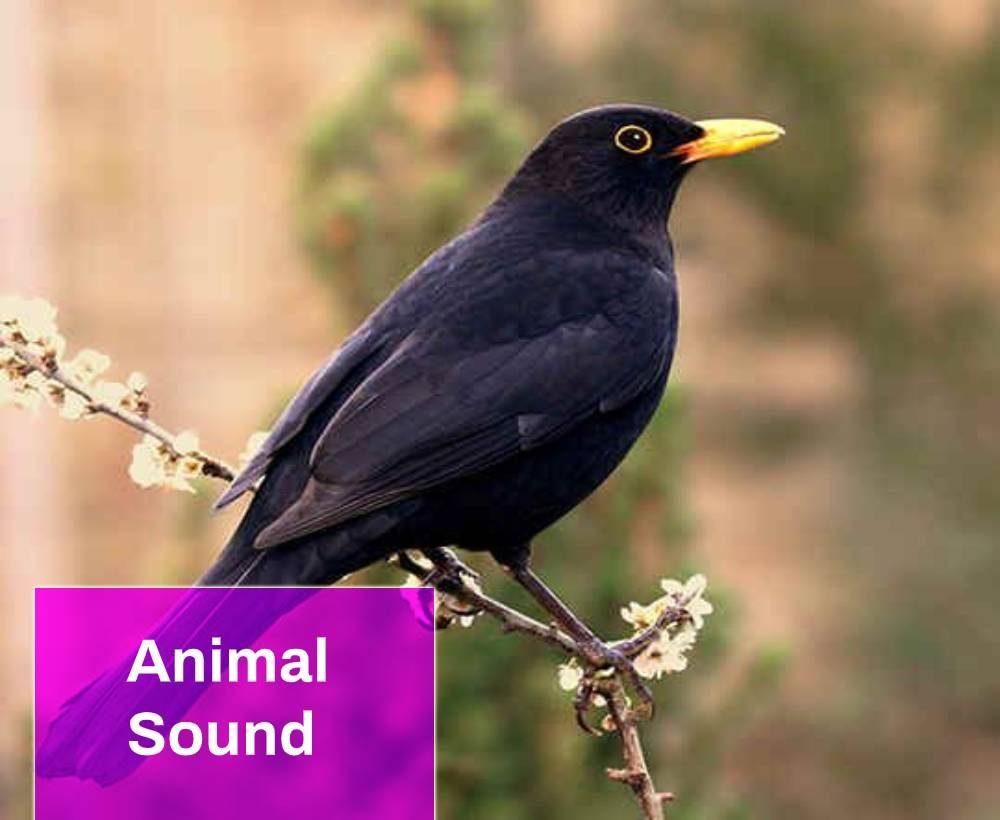 Blackbird Sound