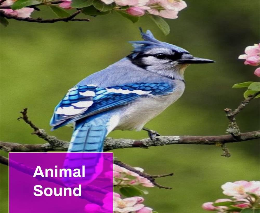 Blue Jay Sound