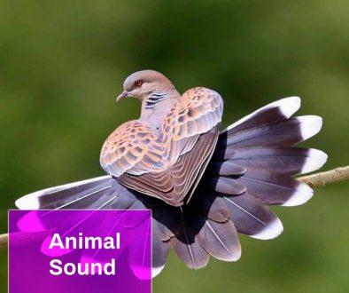Dove Bird Sound