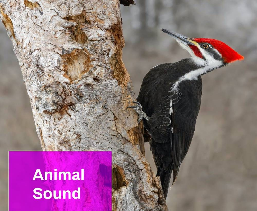 woodpecker sound