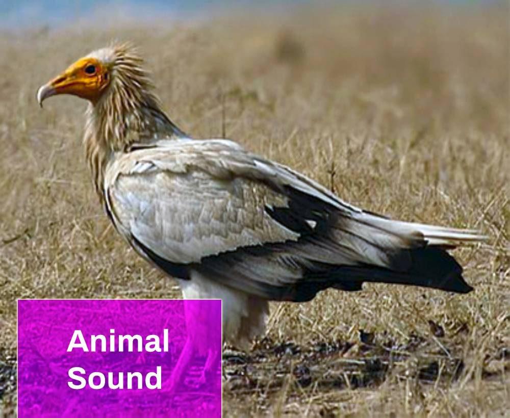 Egyptian Vulture Sound