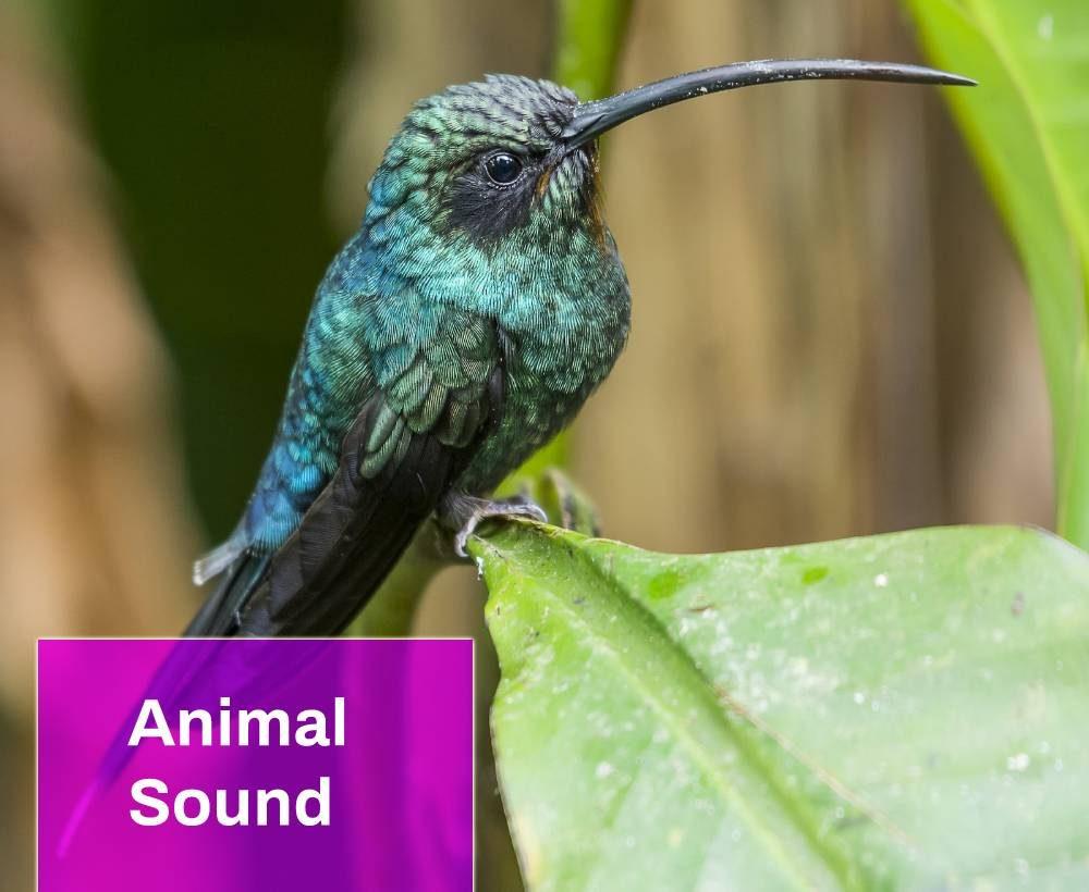 Green Hermit Hummingbird Sound