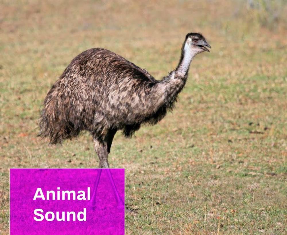 Bird Emu Sound