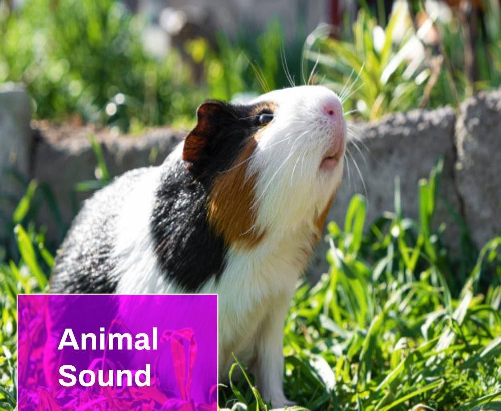 Guinea Pig Squeak Sound