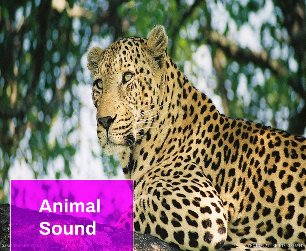 Leopard Sound