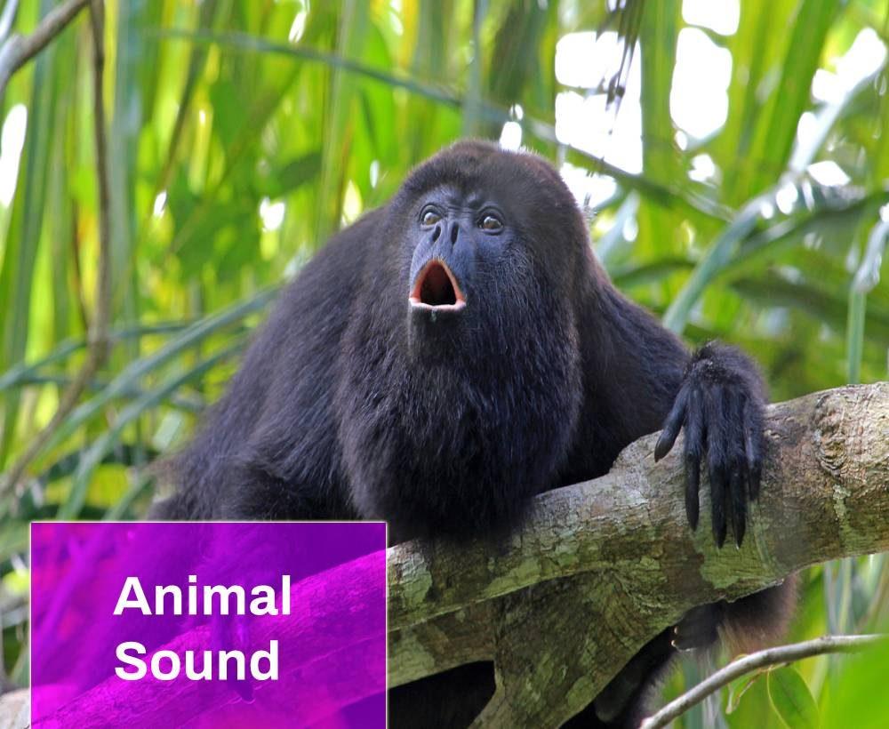 Howler Monkeys Sounds
