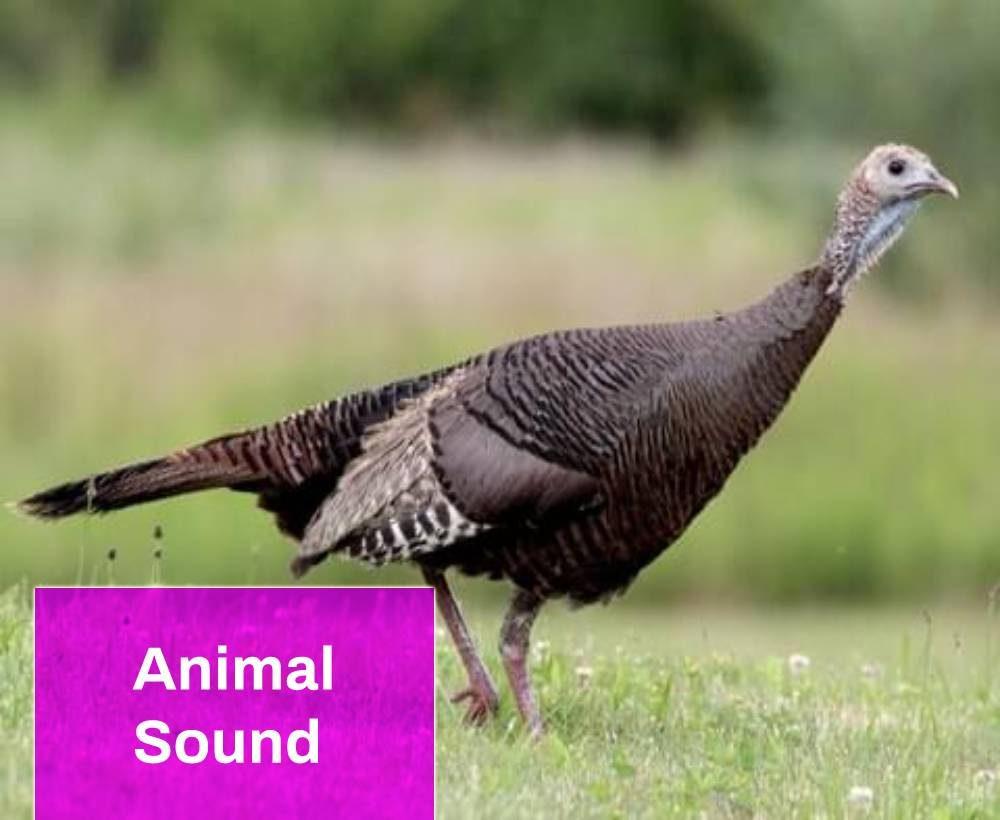 Turkey Call Sound
