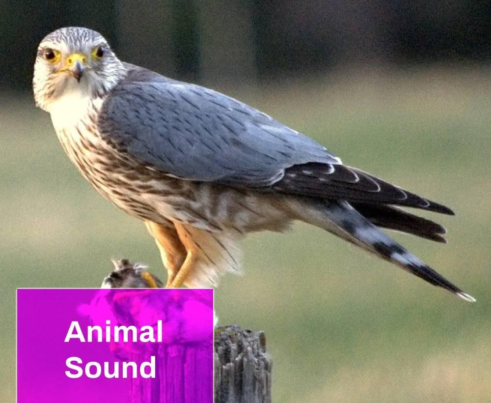 Merlin Bird Sound