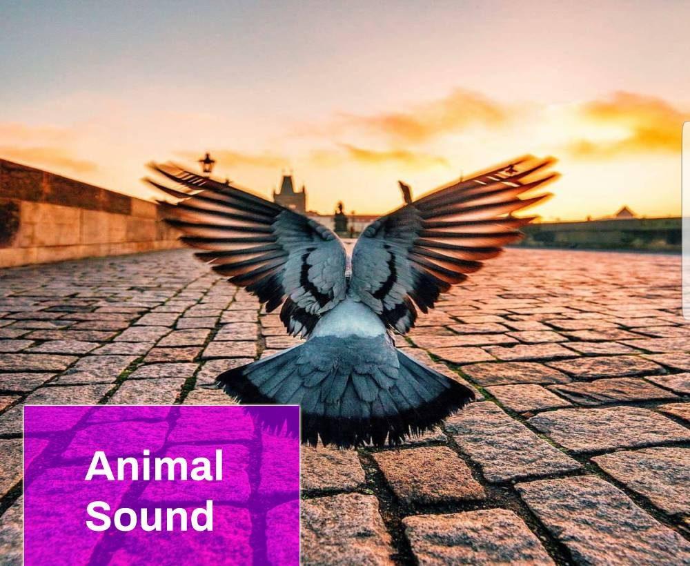 The Pigeon Flies Sound