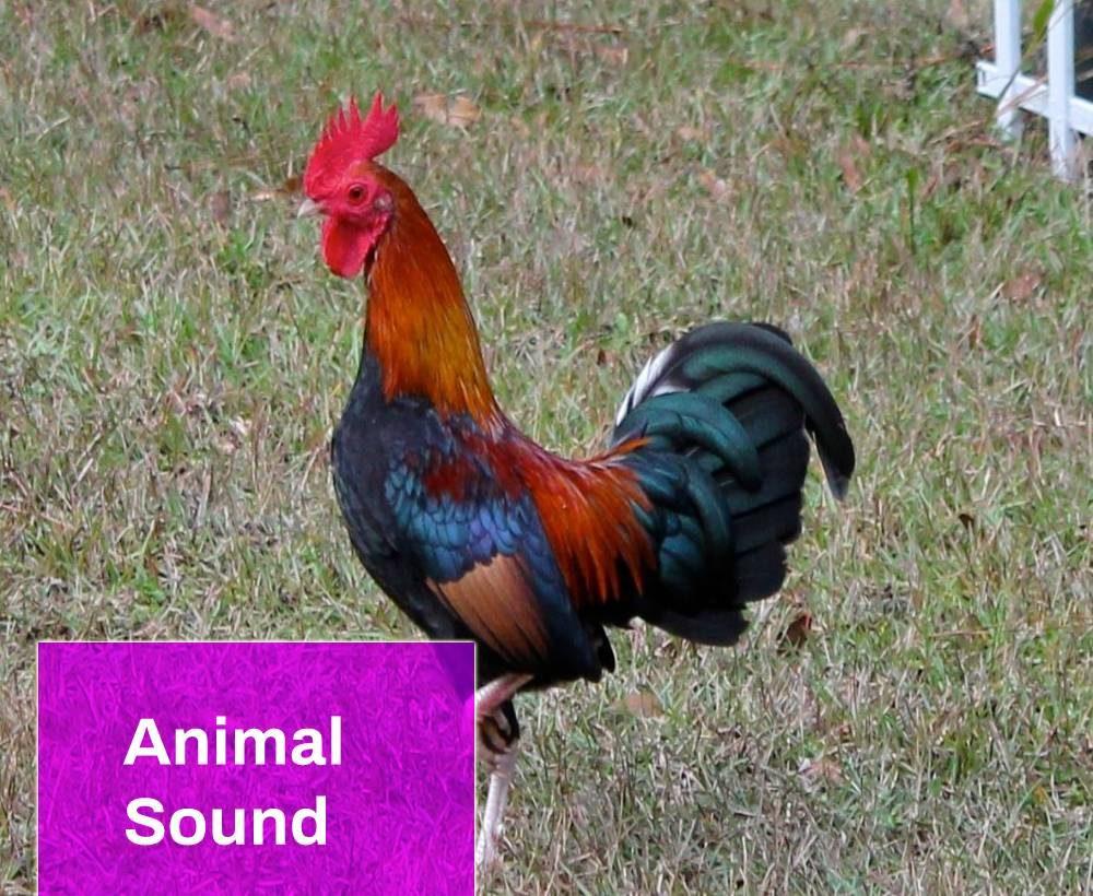 Bantam Rooster Crowing Sound