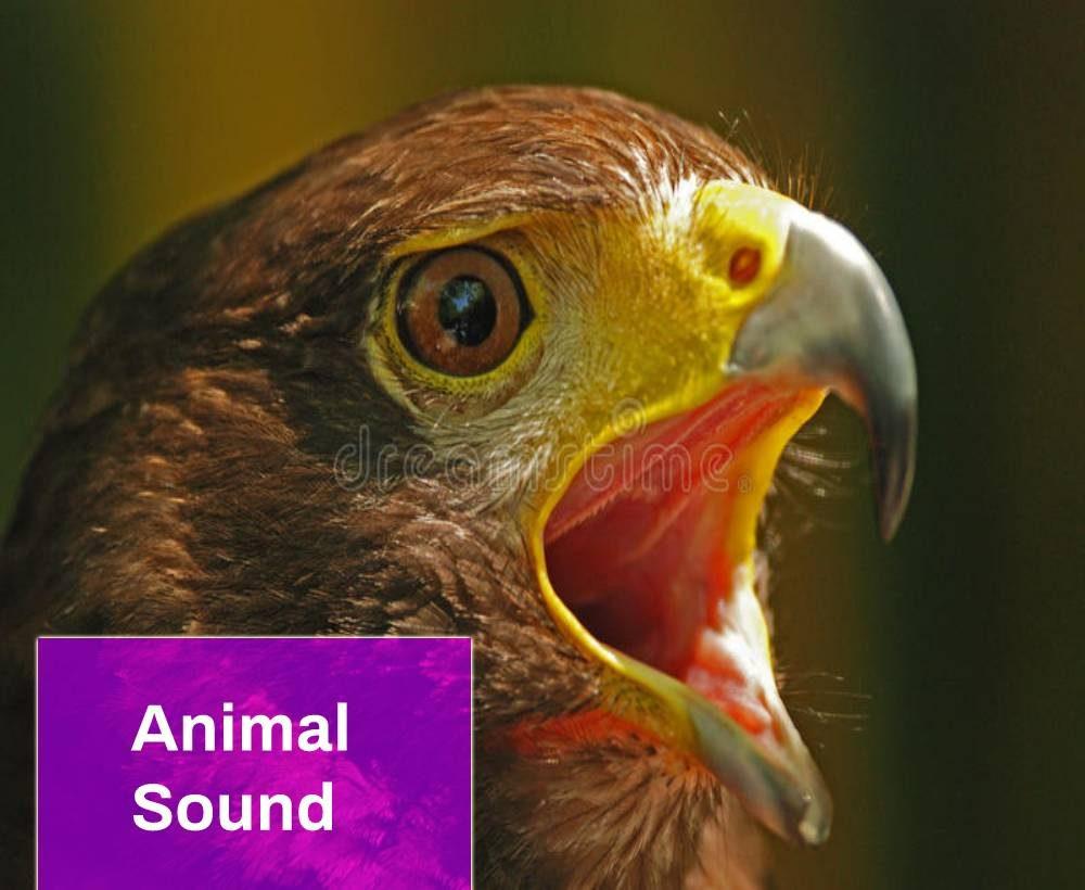 Screaming Hawk Bird Sound