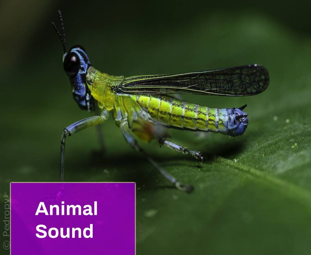 Grillito Animal Sound