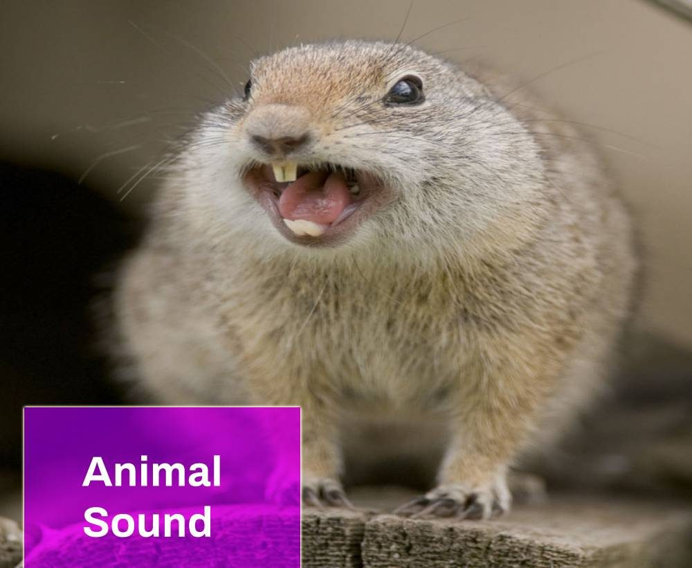 Angry Squirrel Sound