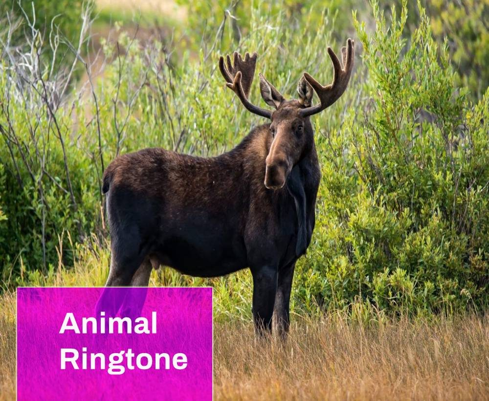 Moose Animal Ringtone