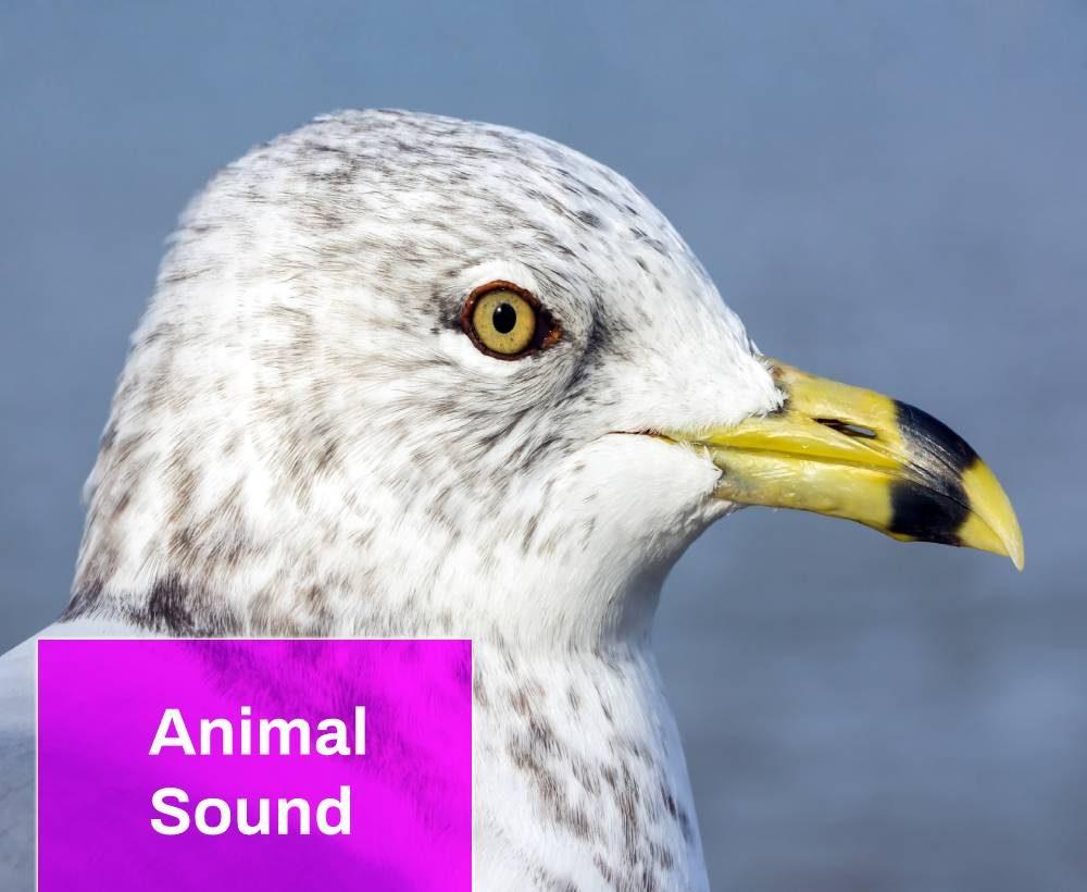 Ring Billed Gull Sound