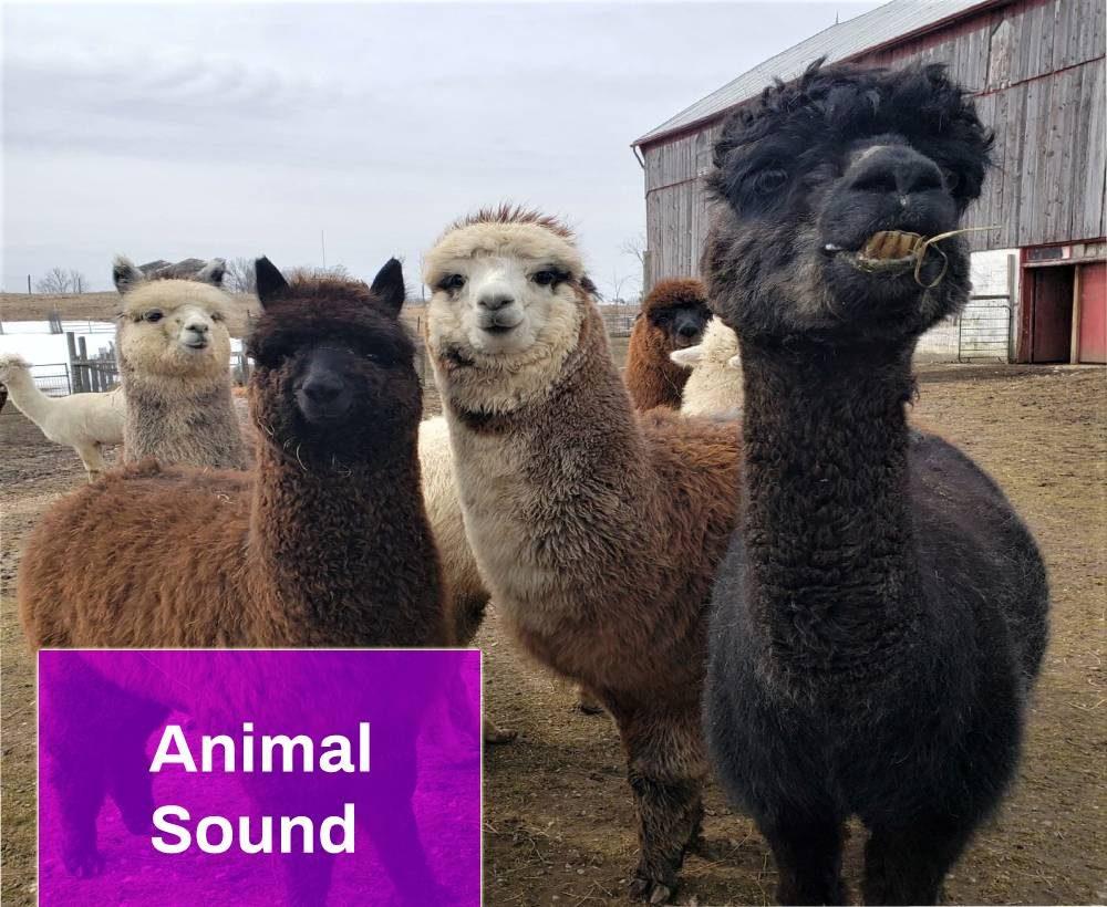 Alpaca Mating Call Sound