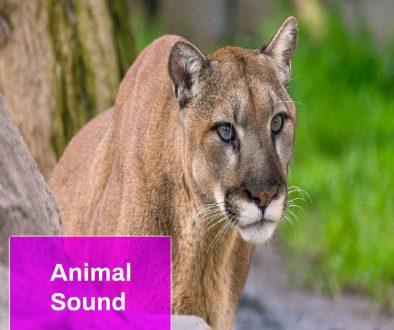 Mountain Lion Sound