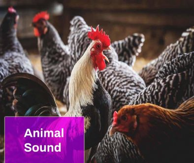 Chickens Sounds