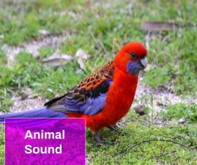 Crimson Rosella Sound