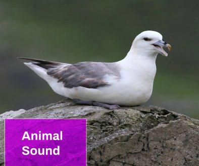 Fulmar Bird Sound