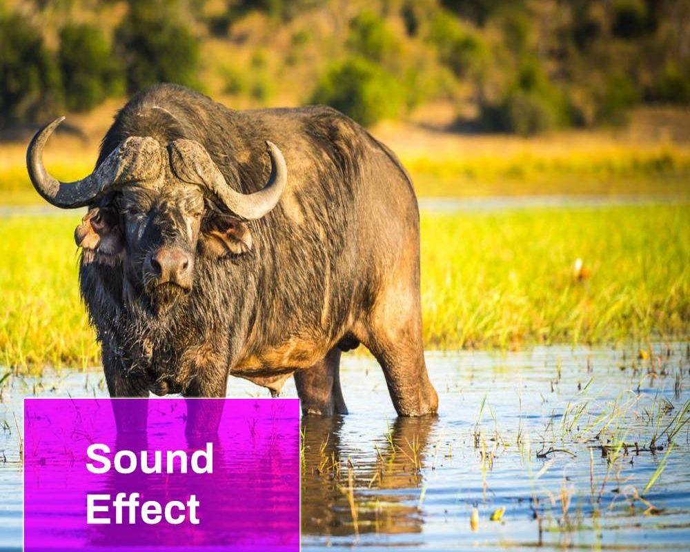 Water Buffalo Sound
