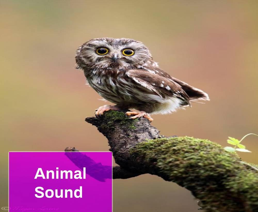 Owl Sound Effect
