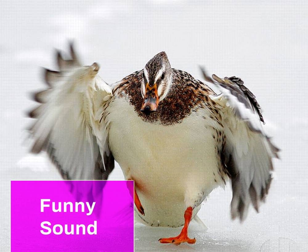 Angry Duck Sound