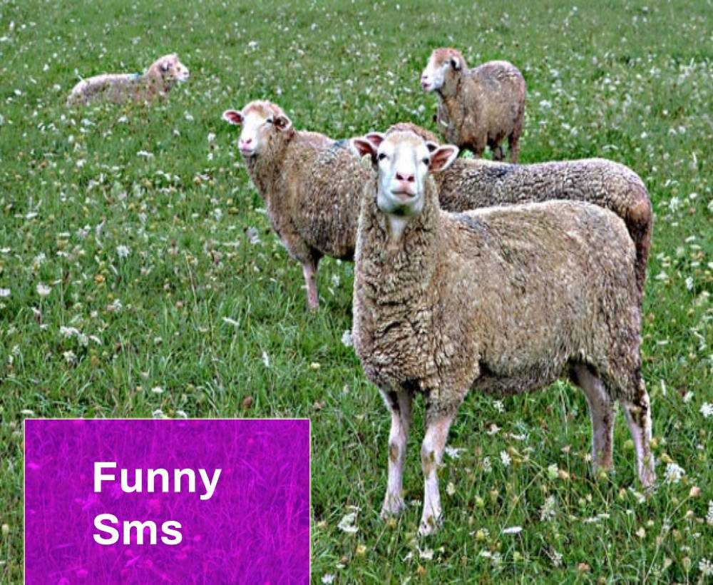 SMS Sheep