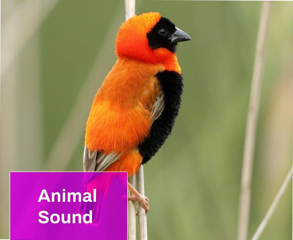 Red Bishop Bird Sound