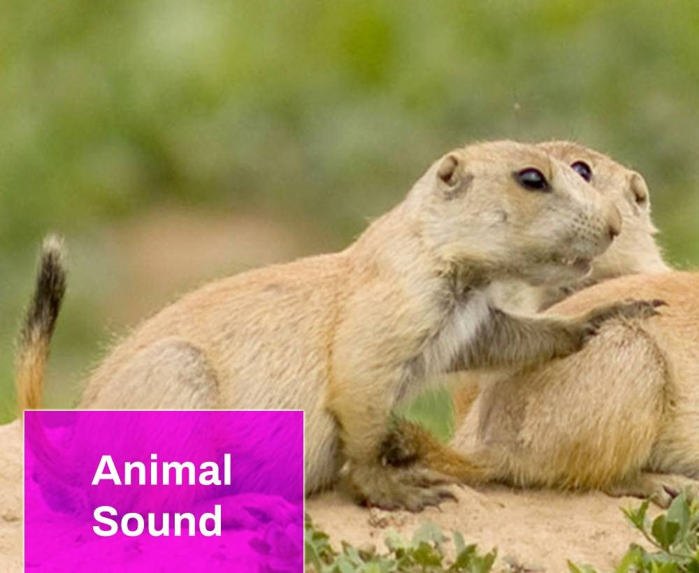 Black-tailed Prairie Dog Sound
