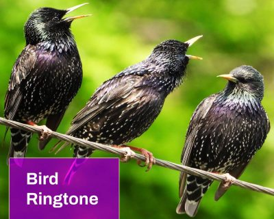 Singing Birds Ringtones