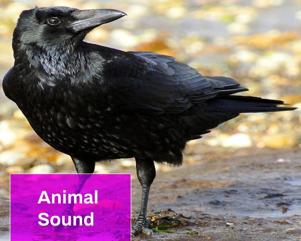 Crow Sound Effect