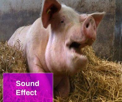 Screaming Pig Sound